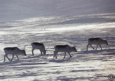 Caribou, Photo by L. David Mech, courtesy of NOAA
