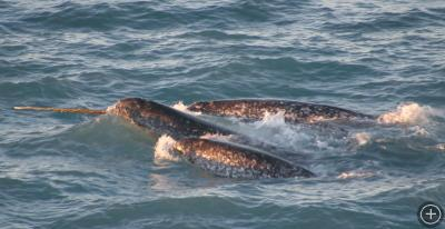 A pod of narwhals. Photo courtesy of NOAA.