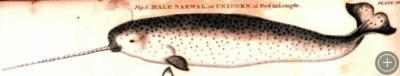 Narwhal drawing, 1820. By W. Scoresby, courtesy of NOAA