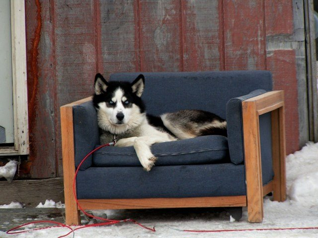 A Siberian Husky Takes Watching The House To A New Level.