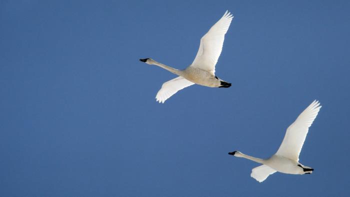 Arctic  or Tundra  SwansTundra Birds