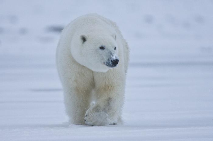 Is There Hope for Polar Bears?   Ice Stories: Dispatches ...