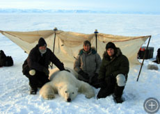 An adult male polar bear who has been sedated for measurements