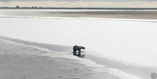 Polar bear walking on a muddy beach on the northern coast of Alaska, in August 2008.